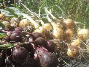 garden-onions